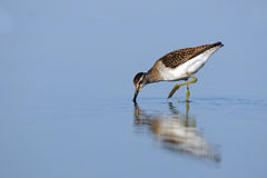 Wood Sandpiper (Tringa glareola) feedingat the shallow water of Royalty Free Stock Image