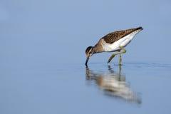 Wood Sandpiper (Tringa glareola) feedingat the shallow water of Royalty Free Stock Image