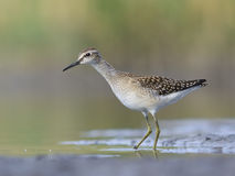 Wood Sandpiper (Tringa glareola) Stock Photo