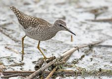 The wood sandpiper Tringa glareola with an insect Stock Image