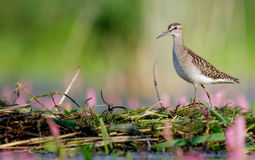 Wood Sandpiper - Tringa glareola Royalty Free Stock Photography