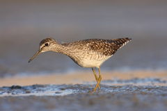 Wood Sandpiper Tringa glareola Royalty Free Stock Photo