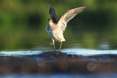 Wood Sandpiper Tringa glareola Royalty Free Stock Photography