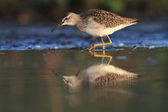Wood Sandpiper Tringa glareola Royalty Free Stock Image