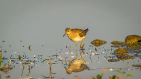 Wood Sandpiper (Tringa glareola) , reflection, water. Wood Sandpiper (Tringa glareola) in water with reflection Royalty Free Stock Photography