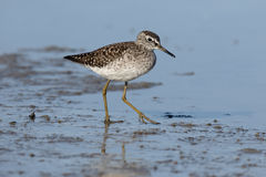 Wood sandpiper, Tringa glareola Stock Photo