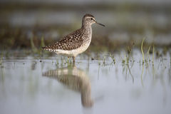 Wood sandpiper, Tringa glareola Stock Photography