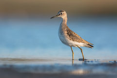 Wood sandpiper Stock Images