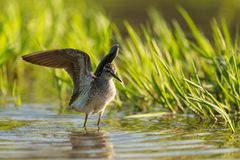 Wood Sandpiper Tringa glareola stands in the water with its wings open.  Royalty Free Stock Photography