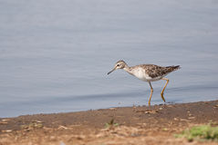Wood Sandpiper Royalty Free Stock Photography