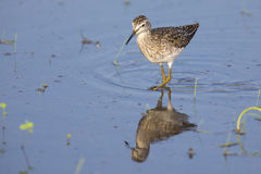 Wood sandpiper wading in shallow water with reflection. Searching for insects Royalty Free Stock Photo