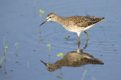 Wood sandpiper wading in shallow water with reflection. Searching for insects Stock Photography
