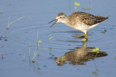 Wood sandpiper wading in shallow water with reflection. Searching for insects Royalty Free Stock Photos