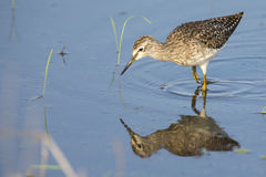 Wood sandpiper wading in shallow water with reflection. Searching for insects Stock Photos