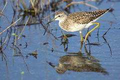 Wood sandpiper wading in shallow water with reflection. Searching for insects Stock Image