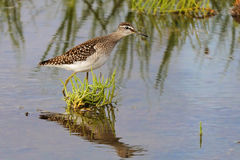 Wood Sandpiper among water grass at the shallow water of Manych Royalty Free Stock Photography