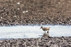 Wood Sandpiper Royalty Free Stock Image