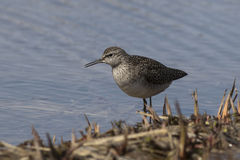 Wood Sandpiper which stands on the bank of the river among the g Royalty Free Stock Photography