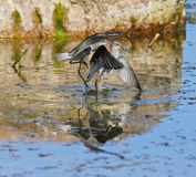 Wood sandpipers are playing Royalty Free Stock Photography