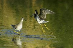 Wood sandpipers (tringa glareola) Stock Photography