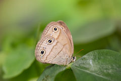 Wood Satyr on Leaf  1. Wood Satyr butterfly side view showing underside of wing sitting on a green leaf Stock Image