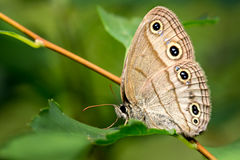 Wood Satyr on Leaf  2. Wood Satyr butterfly side view showing underside of wing sitting on a green leaf Stock Image