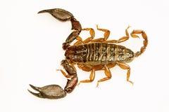Wood scorpion, Liocheles sp, Hemiscopiidae, Gumti, Tripura , India. Wood scorpion, Liocheles sp, Hemiscopiidae, Gumti Tripura state of India royalty free stock images