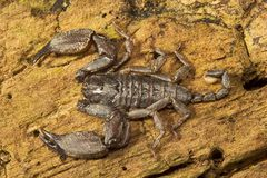 Wood scorpion, Liocheles sp, Hemiscopiidae, Manu,Tripura, India. Wood scorpion, Liocheles sp, Hemiscopiidae, ManuTripura state of India royalty free stock images