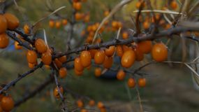 Juicy ripe berries of sea-buckthorn berries glisten in the sun, on the tree leaves still hanging. The wood of sea buckthorn growing in my garden, the berries royalty free stock photo