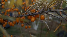 Juicy ripe berries of sea-buckthorn berries glisten in the sun, on the tree leaves still hanging. The wood of sea buckthorn growing in my garden, the berries royalty free stock images