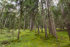 Wood in Seiser Alm Royalty Free Stock Image