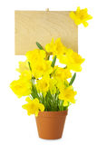 Wood Sign with Daffodil Flowers / empty board for your text /  i Royalty Free Stock Photography