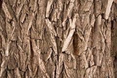 Wood skällbakgrund Royaltyfria Bilder