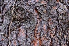 Wood skälltextur av barrträdet Jeffrey sörjer Pinus Ponderosa Jeffreyi med den torkade döda stjälk av för Hederaspiralen för den  fotografering för bildbyråer