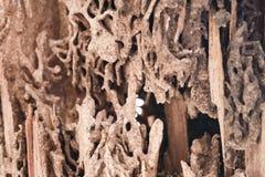Wood skada som ätas av termit Spår av termit inom trä te royaltyfri foto