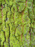 Wood skin Royalty Free Stock Photo
