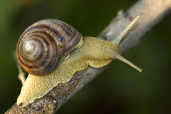 Wood snail. On stem tree Stock Photography