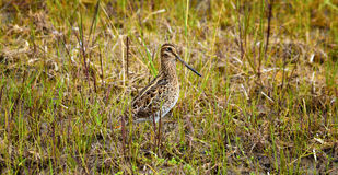The Wood Snipe Stock Photo