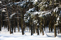 Wood after a snowfall and a blizzard. Royalty Free Stock Photos