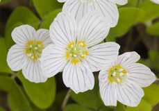 Wood sorrel Royalty Free Stock Photos
