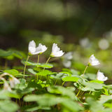 Wood sorrel Royalty Free Stock Photography