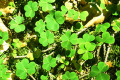 Wood sorrel Stock Photos