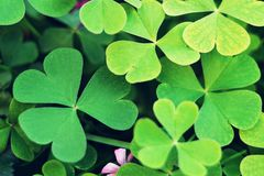 Wood sorrel background. Top view of wood sorrel royalty free stock image