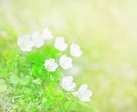 Wood Sorrel. Close-up of Wood Sorrel flowers royalty free stock image