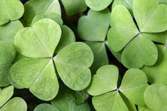 Wood sorrel close-up. Leaves of common wood sorrel - Oxalis acetosella stock photos