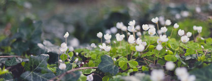 Wood sorrel Stock Images