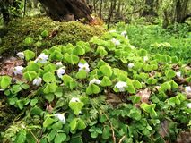 Wood sorrel. Common Wood sorrel plant in Kampinos Forest near Warsaw stock images