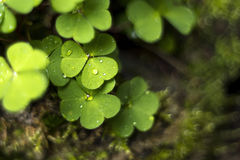 Wood sorrel or common wood sorrel. Background Stock Photo