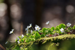 Wood Sorrel or Common Wood Sorrel with a blurred background Royalty Free Stock Photos