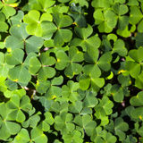 Wood sorrel or common wood sorrel Stock Photo